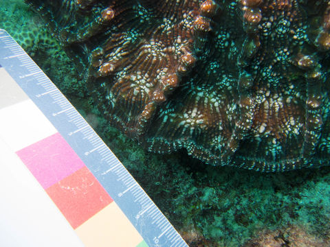 Image of Knobby cactus coral