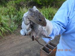 Image of Toltec Cotton Rat