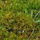 Image of <i>Tomentypnum nitens</i>