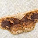 Image of <i>Lipomelia subusta</i> Warren 1893