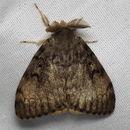 Image of gypsy moth