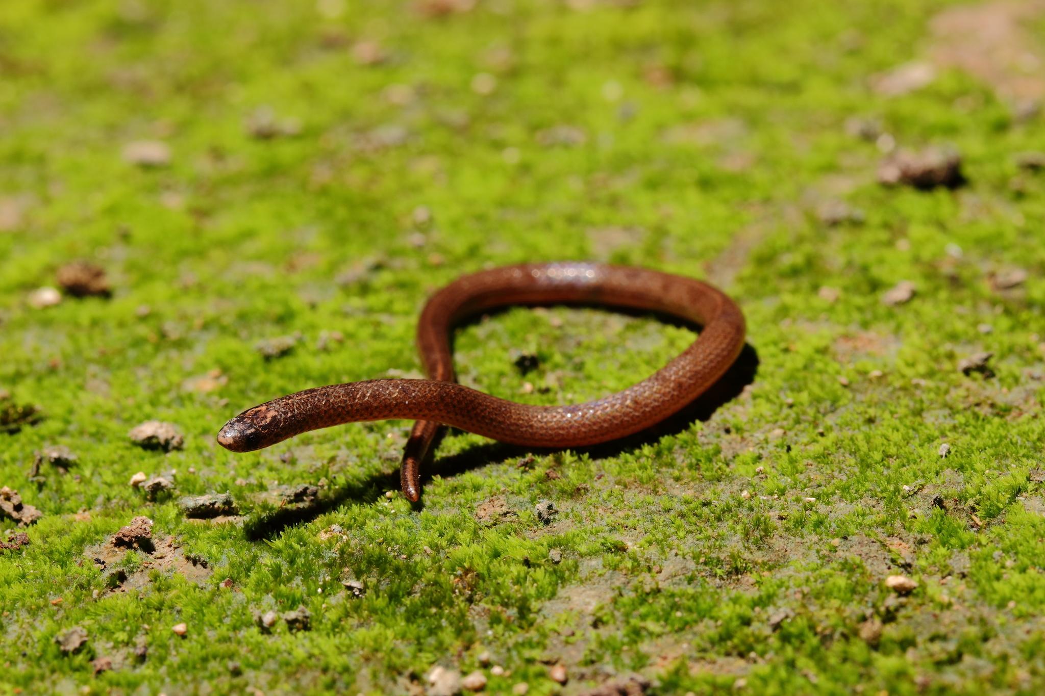 Image of Yucatecan Dwarf Short-tail Snake