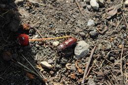 Image of pole borer