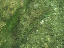 Image of Areloate grouper