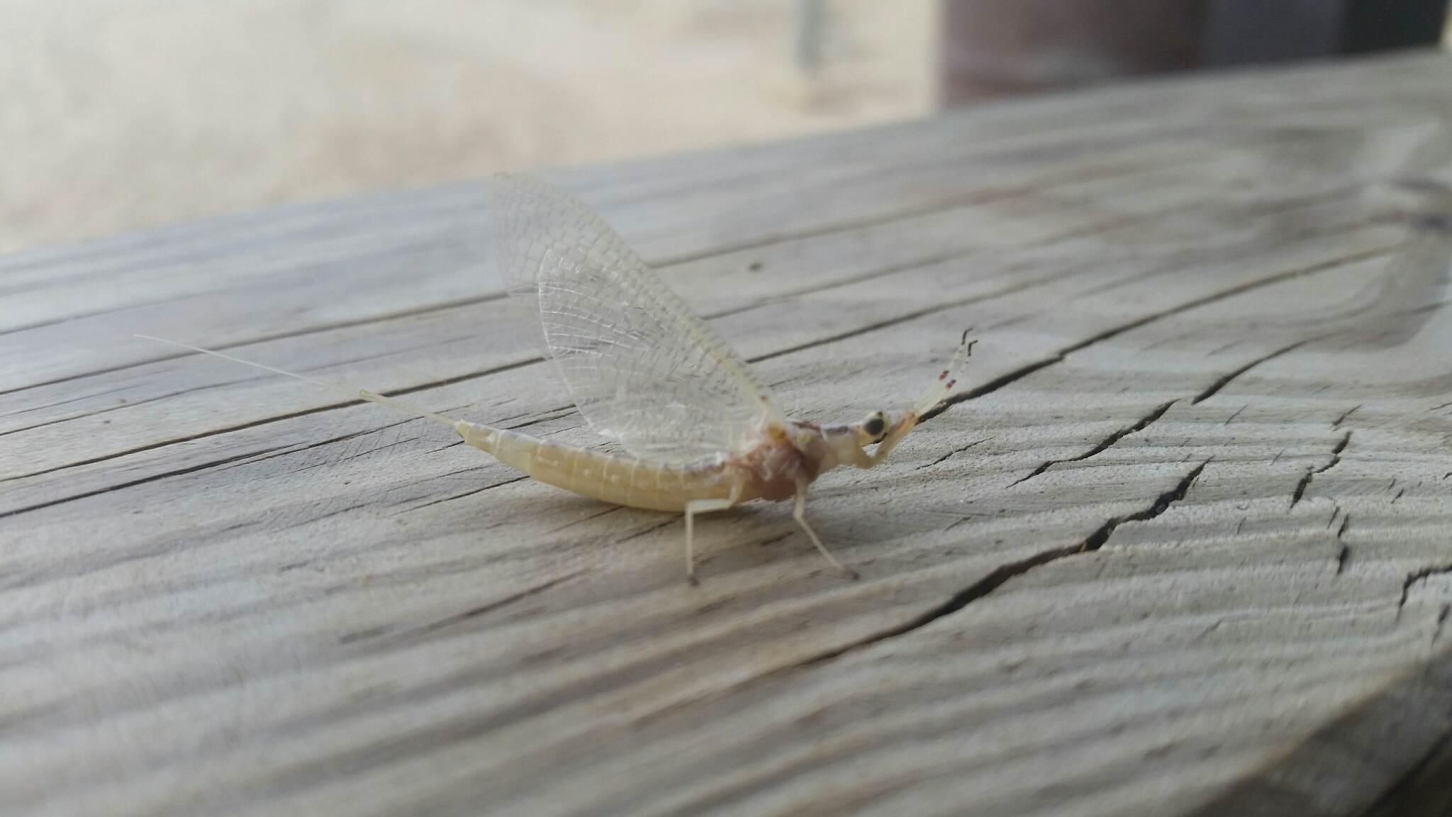 Image of Hexagenia Mayfly
