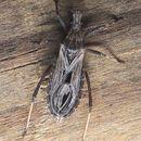 Image of <i>Diaditus tejanus</i> Giacchi 1980