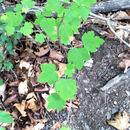 Image of <i>Ribes nigrum</i>