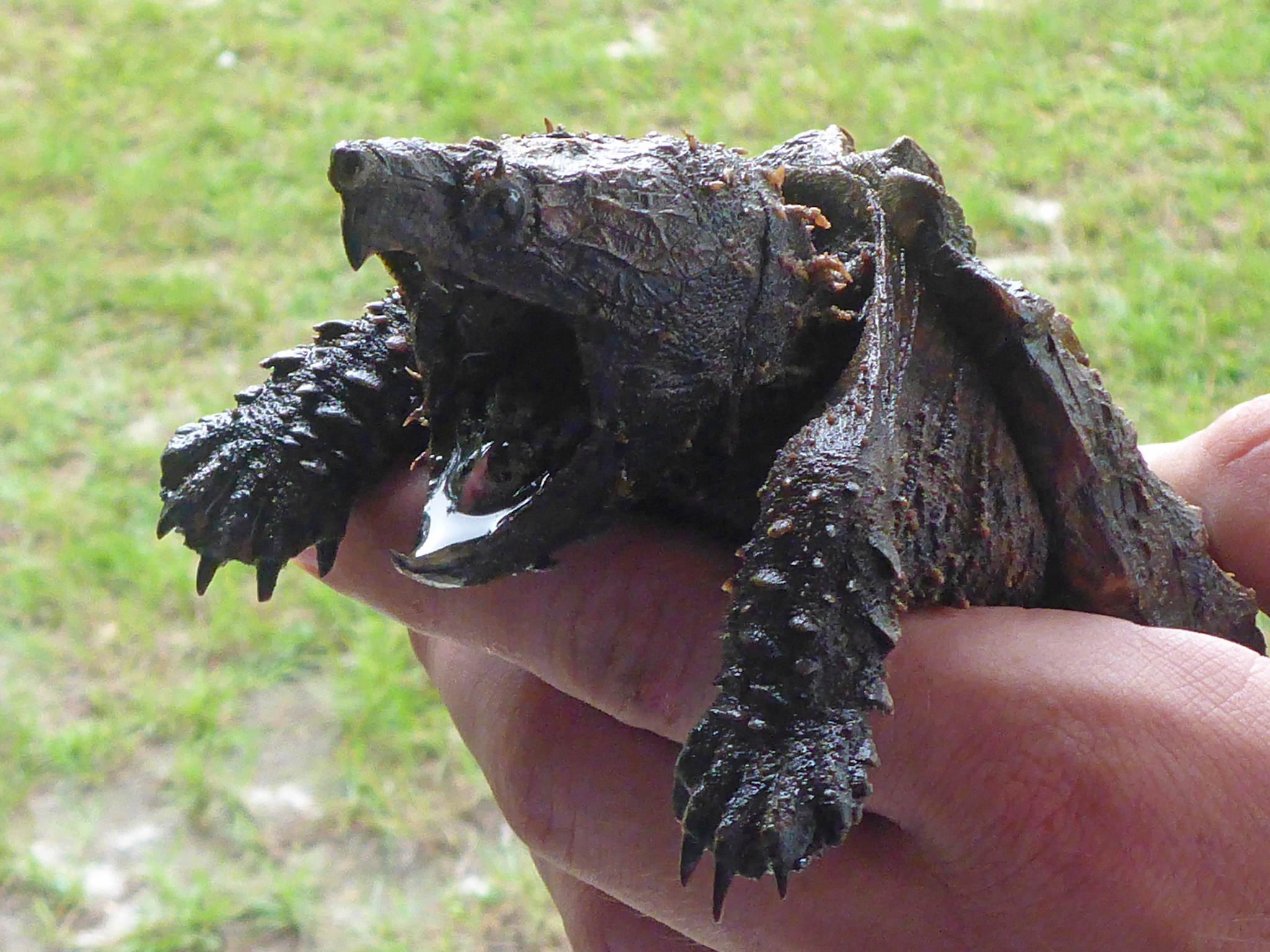 Image of Suwannee alligator snapping turtle