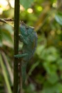 Image of Parson's chameleon