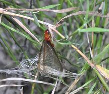 Image of Pacific coast dampwood termite