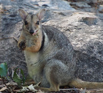 Image of Western rock wallaby