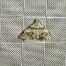 Image of <i>Oxyelophila callista</i> Forbes 1922