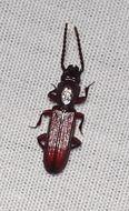 Image of <i>Catogenus rufus</i> (Fabricius 1798)