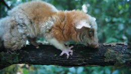 Image of Central American woolly opossum