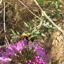 Image of Yellow Bumblebee