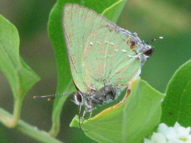 Image of Clench's Greenstreak