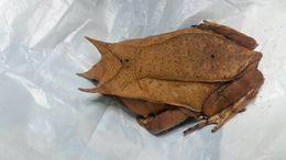 Image of Borneon Horned Frog