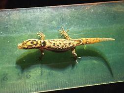 Image of big-scaled least gecko