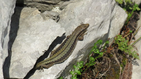 Image of Horvath's Rock Lizard