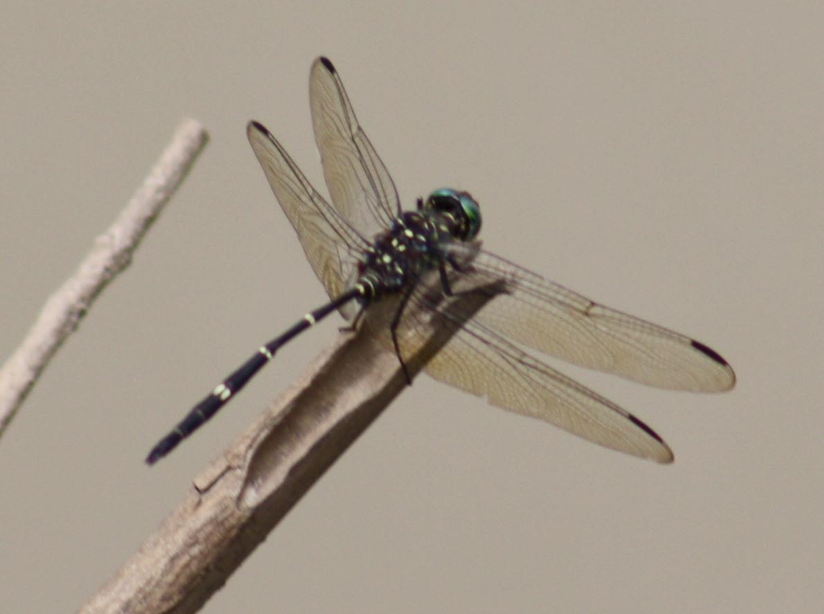 Image of <i>Olpogastra lugubris</i> (Karsch 1895)