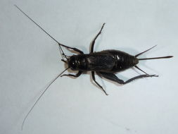 Image of Fall Field Cricket