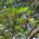 Image of Rufous-throated Solitaire