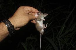 Image of <i>Peromyscus perfulvus chrysopus</i>