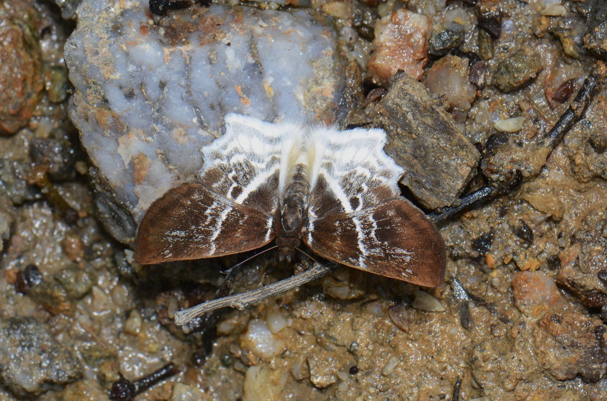 Image of <i>Odontoptilum pygela</i> Hewitson 1868