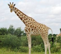 Image of West African Giraffe