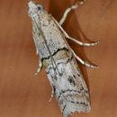 Image of <i>Zamagiria australella</i> Hulst 1900