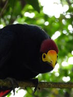 Image of Ross's Turaco