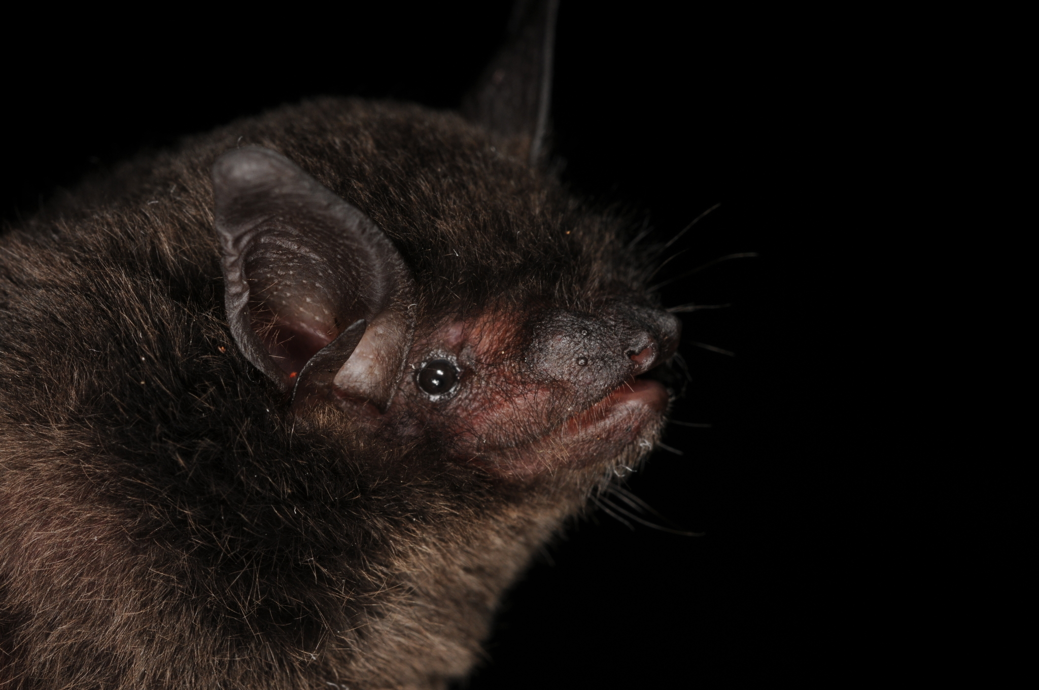 Image of Silver-tipped Myotis