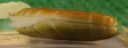 Image of <i>Solemya velum</i>