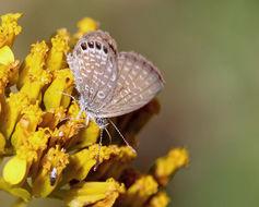 Image of Eastern Pygmy-Blue