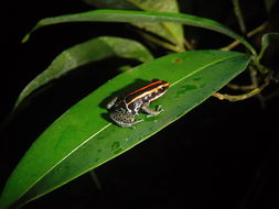 Image of Reticulated poison frog