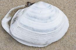 Image of white-sand macoma