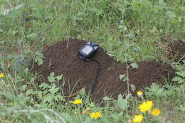 Image of Michoacan pocket gopher
