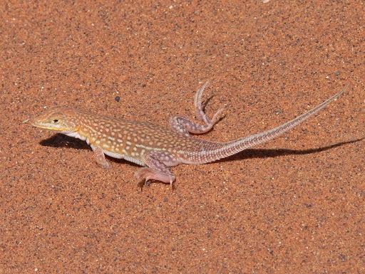 Image of Wedge-snouted Desert Lizard