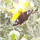 Image of <i>Apyrrothrix <i>araxes</i></i> ssp. araxes