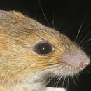 Image of Sumichrast's Harvest Mouse