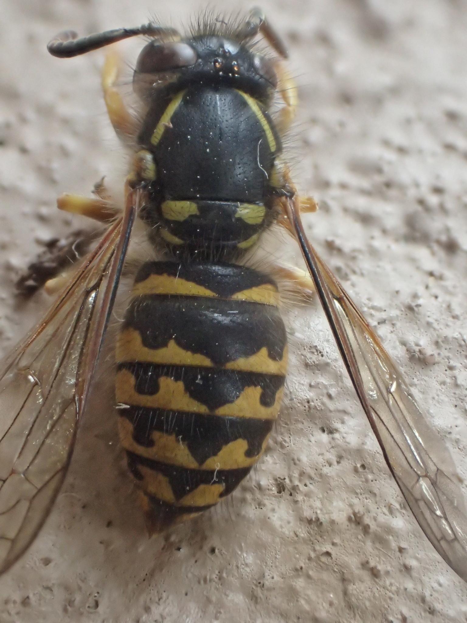Image of Aerial yellowjacket