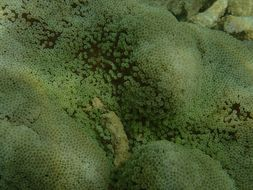 Image of merten's carpet anemone