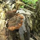 Image of <i>Lentinellus ursinus</i>