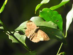 Image of <i>Grais <i>stigmaticus</i></i> ssp. stigmaticus