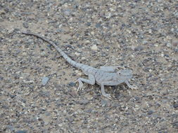 Image of Blacktail Toadhead Agama