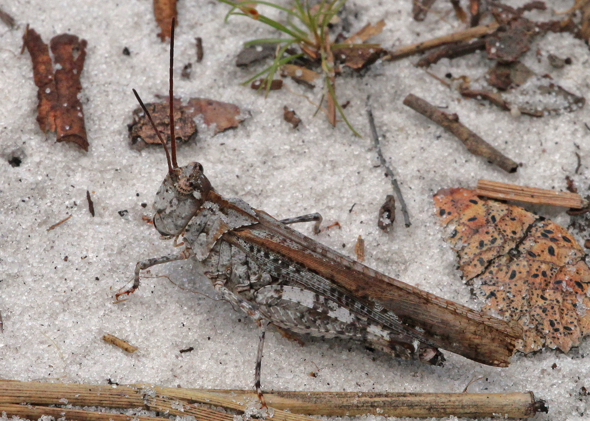 Image of Longhorn Band-wing Grasshopper