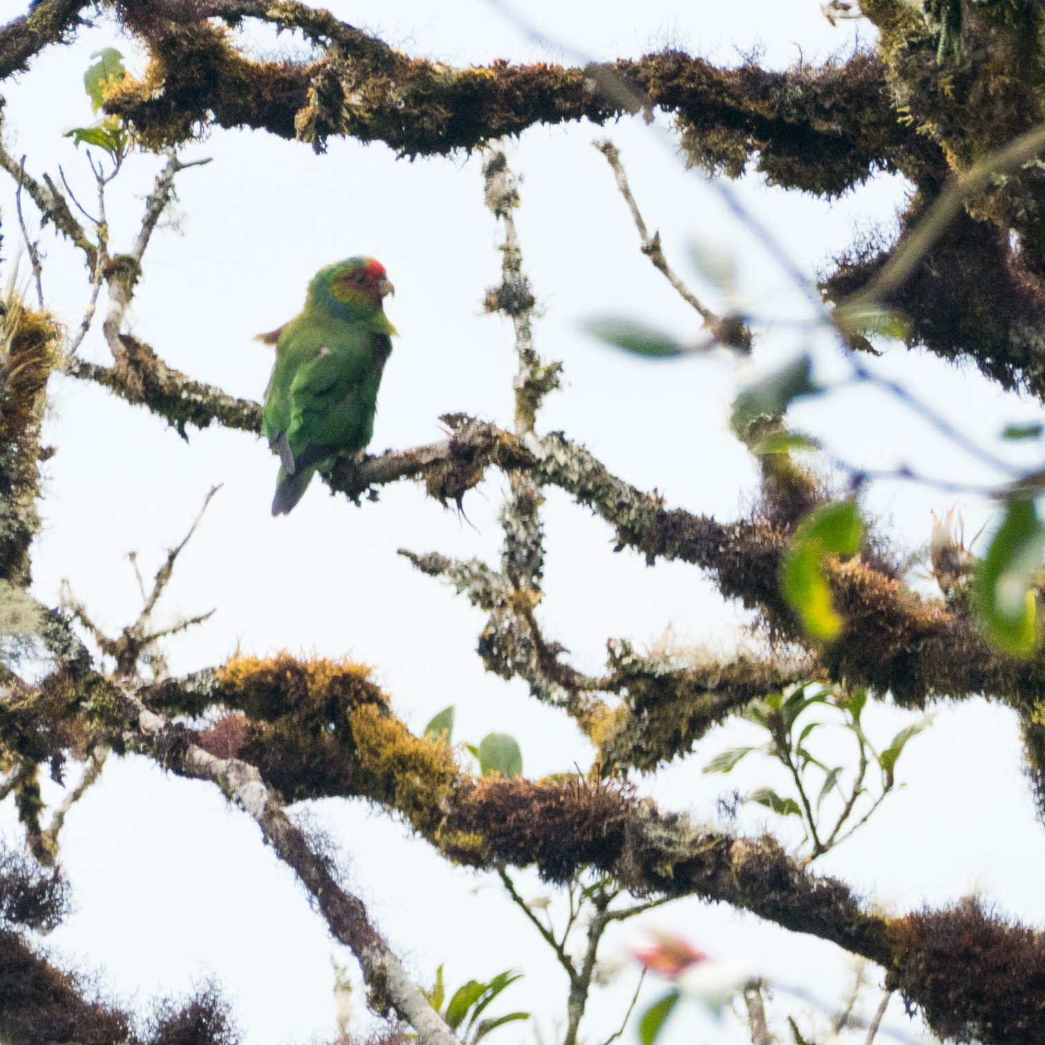 Image of Red-faced Parrot