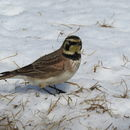 Image of larks