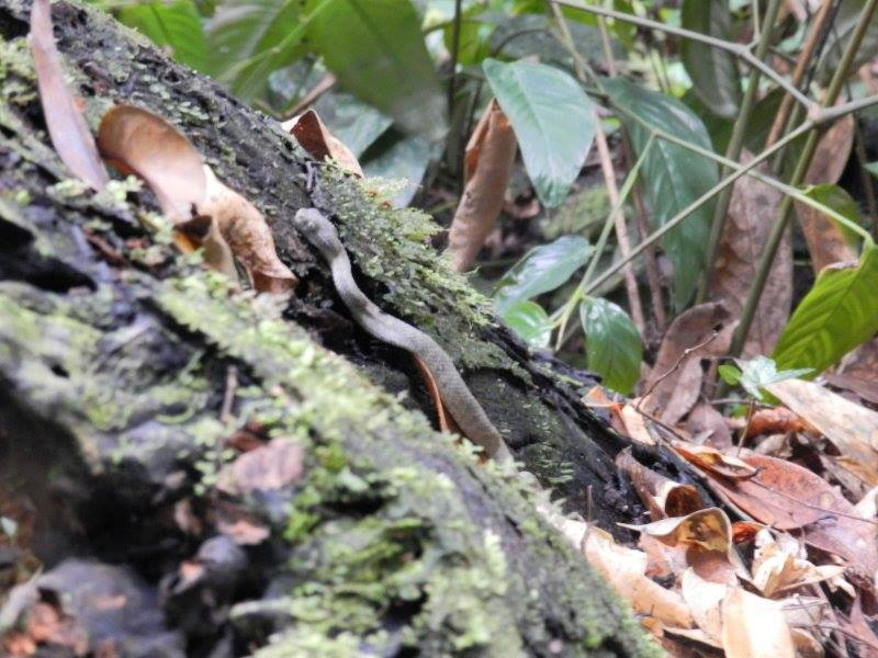 Image of Rough-scaled Bush Viper