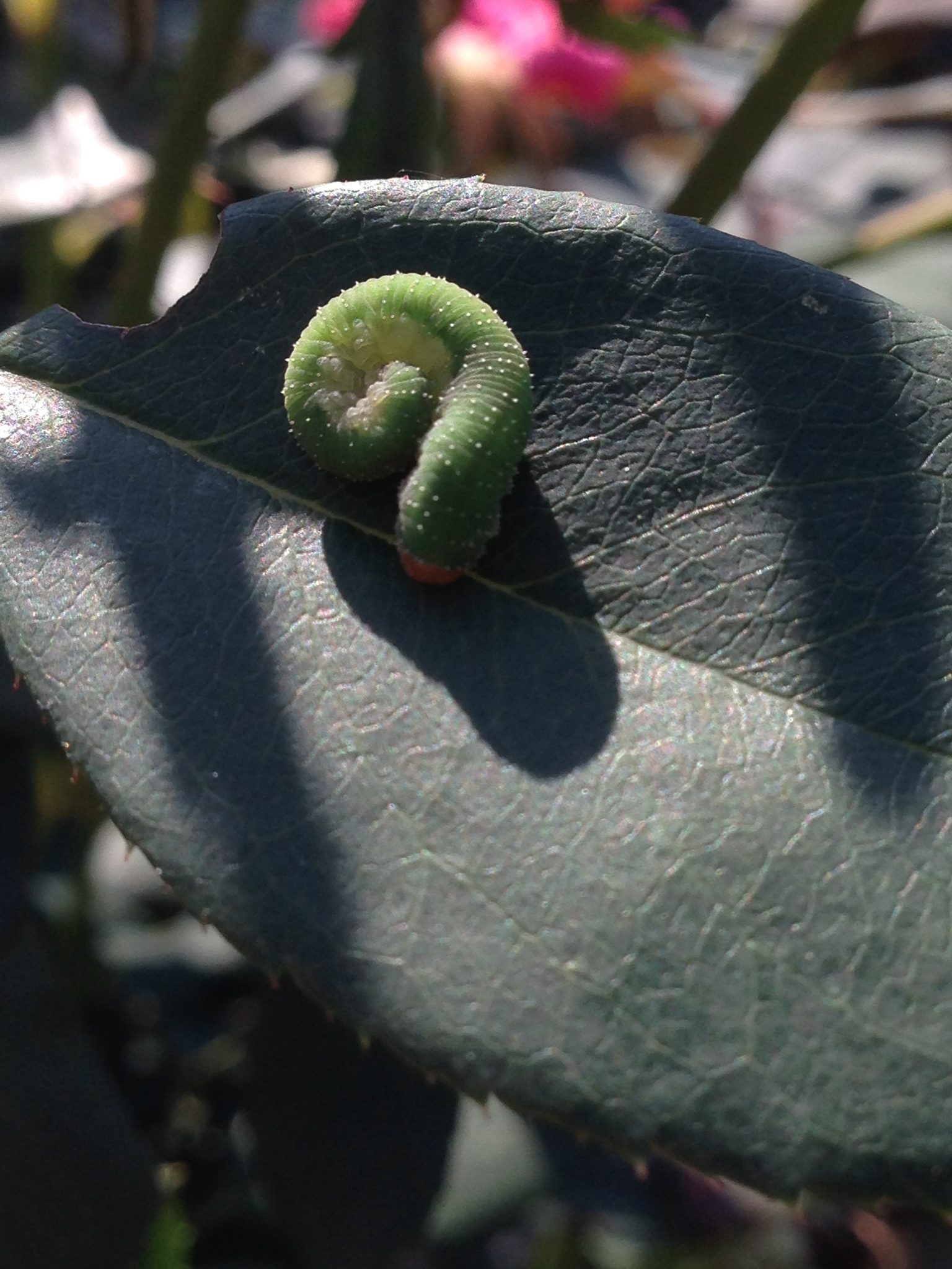 Image of Curled rose sawfly